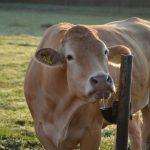 De runderen van de Leentjeshoeve drinken op stal en in de wei schoon en vers leidingwater